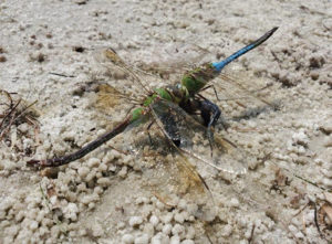 Dragonflies eating one another